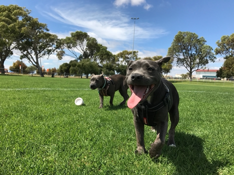 Two dogs playing at the park.
